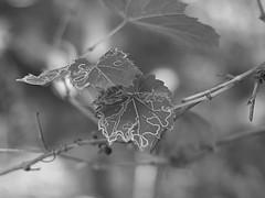 Insect Art (Steve InMichigan) Tags: blackwhite monochrome wildgrapeleaf insecteatingonleaf minoltamdirokkorx50mmf14 fotgamdeosmlensadapter