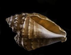 Back Lit Spiral Sea Shell (Bill Gracey 24 Million Views) Tags: shell seashell backlit backlighting blackbackground reflection offcameraflash mirror homestudio glowing nature naturalbeauty macrolens yongnuo yongnuorf603n tripod