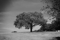 Veterans Park Tree BW (Gene Ellison) Tags: tree liveoak trunk grass open field sky clouds nature photography naturephotography blackwhitephotos bw fijifilm acrosr