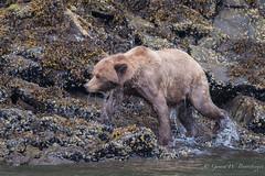 Grizzly Bear (Turk Images) Tags: britishcolumbia coastalrainforest greatbearrainforest grizzlybear ktzimadeengrizzlybearsanctuary khutzeymateengrizzlybearreserve maritimecoast ursusarctoshorribilis breedingseason bears mammals ursidae