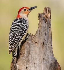 Red bellied woodpecker (Lynn Tweedie) Tags: wood bokeh beak tail redbelliedwoodpecker wing canon ngc animal 7dmarkii feathers sigma150600mmf563dgoshsm tree missouri green eos bird eye branch