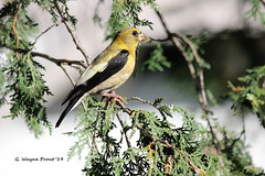Evening Grosbeak (Coccothraustes vespertinus) (Gerald (Wayne) Prout (Will be off line for awhile)) Tags: eveninggrosbeak coccothraustesvespertinus animalia chordata aves passeriformes fringillidae coccothraustes vespertinus birds perchingbirds songbirds evening grosbeak grosbeaks yellow white black animals wildlife nature mybackyard mountjoytownship cityoftimmins northeasternontario northernontario ontario canada prout geraldwayneprout canon canoneos60d eos 60d digital dslr camera canonlensef70300mmf456isusm lens ef70300mmf456isusm photographed photography backyard mountjoy township city timmins northeastern northern