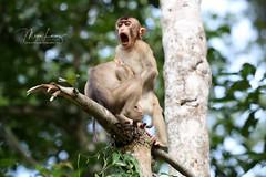 Monkey Business (Megan Lorenz) Tags: southernpigtailedmacaque macaque monkey primate juvenile babyanimals animal mammal nature wildlife wild wildanimals two borneo malaysia kinabatanganriver mlorenz meganlorenz