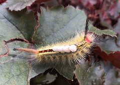 I found a fuzzy friend! (tquist24) Tags: elkhart indiana outdoor caterpillar cellphone fuzzy garden insect leaves macro nature outside summer