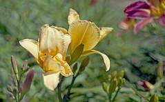 Lily (Fiddling Bob) Tags: film flower lily yellow m42 manualfocus vintagelens takumar portrafilm pentaxk1000