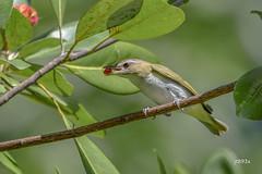 Red-eyed Vireo (jt893x) Tags: 150600mm bird breeding d500 jt893x nikon nikond500 redeyedvireo sigma sigma150600mmf563dgoshsms songbird vireo vireoolivaceus