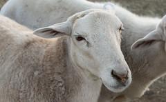 Angel (alexandrea.nilsson) Tags: angel sheep lamb baa animals animal rescue farm sanctuary farmrescue farmsanctuary savelives adopt chingsanctuary ching love compassion humane vegan veganfortheanimals saltlakecity slc saltlake ut utah