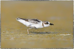 Wilson's Plover on the move (RKop) Tags: fortdesotostatepark raphaelkopanphotography d500 600mmf4evr florida wilsonsplover