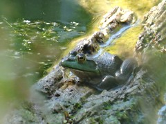 Wednesday's frog (EcoSnake) Tags: americanbullfrog lithobatescatesbeiana frogs amphibians water wildlife august summer idahofishandgame naturecenter