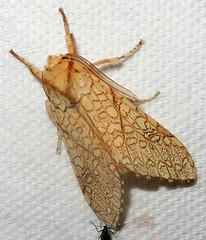Tiger Moth, Lophocampa mixta, Madera Canyon, Santa Cruz County, AZ (Seth Ausubel) Tags: erebidae moth arctiinae az arctiini