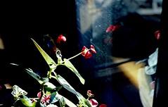 flower (bluebird87) Tags: flower nikon f100 film kodak ektar dx0 c41 epson v600