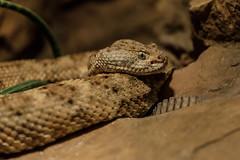 Snake (Jemlnlx) Tags: canon eos 5d mark 4 iv 5d4 5div ef 70200mm f4 l is usm philadelphia zoo pennsylvania animals reptile house snake