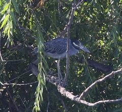 Yellow-crowned Night-Heron (tombenson76) Tags: pradoregionalpark yellowcrownednightheron nyctanassaviolacea