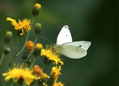Kolfjäril (Håkan Jylhä (Thanks for +1000000 views)) Tags: håkan jylhä sony rx10iv fjäril butterfly close närbild vit white