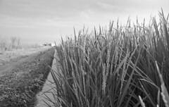 Rice grains appear (odeleapple) Tags: nikon f5 nikkor 28mm orangefilter kodaktmax400 film monochrome analog bw rice paddy field grain