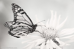 8-watermark (Brian M Hale) Tags: monarch ir ifnrared kolarivision kolari vision brian hale brianhalephoto flower