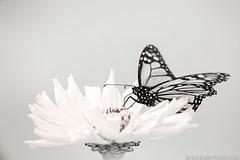 7-watermark (Brian M Hale) Tags: monarch ir ifnrared kolarivision kolari vision brian hale brianhalephoto flower
