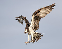 Osprey Landing Talons at the Ready (dbadair) Tags: flight bif outdoor seaside shore sea sky water nature wildlife 7dm2 7d ii ef100400mm ocean canon florida bird