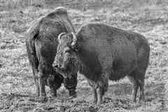 Buffalo at Cumberland Gap (Explored) (sniggie) Tags: wildlife monochrome mud americanbuffalo bisonbison cumberlandgapnhp cumberlandgapnationalhistoricpark virginia buffalo