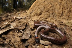 Furina diadema (Red-naped snake) (Tom Frisby) Tags: reptile snake animal animals wild nsw australia wildlife photography herp nature