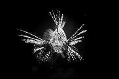 fish (photalena) Tags: sea bw fish berlin aquarium underwater sealife rotfeuerfisch