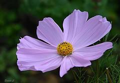 Thursday`s Flower (Eleanor (New account))) Tags: flower cosmos busheyrosegarden bushey england uk nikond7100 july2019
