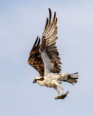 Osprey Inflight with a Fresh Catch (dbadair) Tags: flight bif outdoor seaside shore sea sky water nature wildlife 7dm2 7d ii ef100400mm ocean canon florida bird