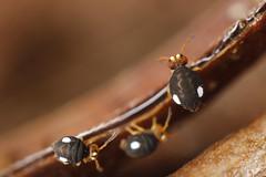 Sminthurinus trinotatus (marie1179) Tags: collembola hoppstjärt springtail springstaart springschwänze symphypleona katiannidae sminthurinustrinotatus macro