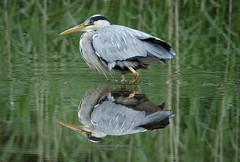 Heron & reflection (2) (hedgehoggarden1) Tags: heron reflection bird rspb wildlife nature creature animal sonycybershot norfolk eastanglia uk norfolkwildlifetrust sony birds lake water feathers