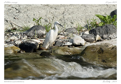 L'Allier sauvage (BerColly) Tags: france auvergne puydedôme riviere river allier oiseau bird aigrettegarzette littleegret bercolly google flickr