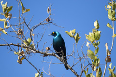 "wild-eyed and blue on blue, beautifully polished Cape Glossy Starling (Kleinglansspreeu) against the sky. Elephant Plains Game Lodge, Sabi Sand Game Reserve, Kruger National Park, South Africa. (grumpybaldprof) Tags: ""elephantplainsgamelodge"" ""sabisandgamereserve"" ""krugernationalpark"" ""southafrica"" limpopo mpumalanga ""big5"" wildlife lion hippo rhino elephant buffalo ""painteddog"" ""africanhuntingdog"" cheetah ""gamereserve"" lodge ""gamedrives"" ""gamewalks"" animals ""bigcat"" ""gamedrive"" ""gamewalk"" ""wildanimals"" bird squirrel calf ""elephantcalf"" hyena zebra wildebeest giraffe warthog ""treesquirrel"" ""smith'sbushsquirrel"" ""commonzebra"" ""plainszebra"" vervet ""vervetmonkey"" ""nkuhumapride"" brownivorypride"" leopardess lioness waterbuck clan pride pack herd den birds avians impala horns antlers jackal ""sidestripedjackal"" ""drakensbergmountains"" blue glossyblue yelloweye starling glossy ""canon80d"" ""sigma 150600mm f563 dgoshsmsport"" ""capeglossystarling"" kleinglansspreeu"