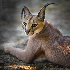Caracal (Gari VALDEN) Tags: portrait felin felidae beauty nature france caracal switzerland canon 5dmarkiii 300mm lens light forest gari valden johnny deep jump street rebel attitude sauvage animal