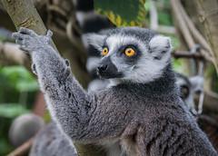 Ring-tailed lemur (Matt H. Imaging) Tags: ©matthimaging lemur mammal zoo wildlands emmen drenthe nederland netherlands animal animalplanet sony slt slta77ii a77ii ilca77m2 zeiss sal1680z