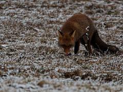 Renard roux (Zagatop) Tags: renard redfox faune animaux hiver hivernale wildlife winter