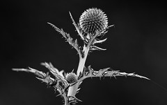 Spikes Of Summer (AnyMotion) Tags: globethistle ruthenischekugeldistel echinopsritro kugeldistel blossom blüte leaves blätter plant pflanze 2019 anymotion nature natur floral flowers blumen botanicalgarden botanischergarten frankfurt 7d2 canoneos7dmarkii bw blackandwhite sw summer sommer été verano zomer estate