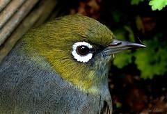 Silver Eye (Lani Elliott) Tags: homegarden garden bird tasmanianbird australianwildlife silvereye green feathers close eye beak bokeh
