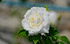 After the storm #2 (Nikolaos Gavrilakis) Tags: nikosgavrilakis gavrilakisnikos nikond750 tamron70300f456divcusd rose white drop drops rain storm beauty νικοσγαβριλακησ τριαντάφυλλο λευκό σταγόνα σταγόνεσ βροχή καταιγίδα ομορφιά top20