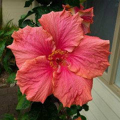 Hibiscus - Pacific Palms, NSW (Peter.Stokes) Tags: vacations vacation photography photo nature newsouthwales nsw landscapes landscape holiday colourphotography coast coastline colour australian australia 2019 outdoors forster tuncurry