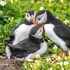 MDG_2798 (marciagain1) Tags: farneislands guilimott puffins razorbill seals shag terns