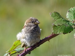 Beautiful Sparrow (Belinda Fewings (5 million views. Thank You)) Tags: fluffy young tiny dorset christchurch stanpit stanpitmarsh sonydschx400v belindafewings nationalgeographicwildlife rspb bbcspringwatch baby sparrow