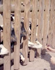 Goats (_barahir_) Tags: mamiya rz67 kodak portra160 expiredfilm