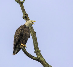 Grand Ravines Eagle.... (Kevin Povenz Thanks for all the views and comments) Tags: 2019 july kevinpovenz westmichigan michigan ottawa ottawacounty ottawacountyparks grandravinesnorth baldeagle eagle bird birdsofprey limb nature wildlife canon7dmarkii sigma150600 outdoors outside early earlymorning blue