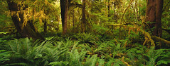 Where Dinosaurs Come From [EXPLORED #14] (Travis Rhoads) Tags: 2019 sonyilce7rm2a7rii canon24tsef35l reallyrightstuff ba72l bh55 rrspcl1 tvc33 leecircularpolarizer leefoundationkit ferns landscapephotography nationalpark nikcollectionbydxo textures tiltshift trees copyright2019 travisrhoadsphotography washington olympicnationalpark hohrainforest moss