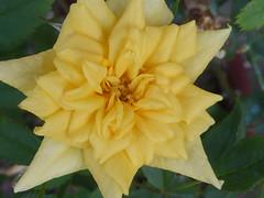 P1080835 (amalia_mar) Tags: rose flower flora fiori fleur garden yellow nature colorfulnature orangeyellowthursday sundaylights details closeup