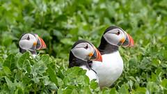 MDG_2900 (marciagain1) Tags: farneislands guilimott puffins razorbill seals shag terns