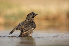 Spotless Starling (Daniel Trim) Tags: hides de el taray spanish spain nature wildlife bird birds birding steppe europe european spotless starling sturnus unicolor