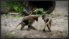 Streit unter Geschwister. ... . small Dispute (tingel79) Tags: yourbestoftoday ape affe streit animal tiere tierpark germany europa outdoor day nature natur photographie photography photograph foto tele sonya6500 soe