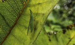 Long Nose (Odonata457) Tags: plant hopper dictyopharidae rhynchomitramicrorhina mtpleasant howardcountyconservancy maryland