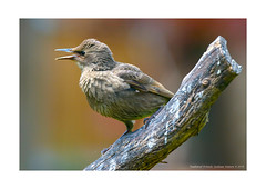 Starling. Juvenile (Graham R Watson) Tags: birds young junenile starling feathers