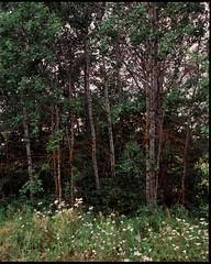 Aspin (Artem_R5AN) Tags: tree green aspen largeformat 6x7 120 fuji provia100f toyoview45 fujinon150mmf56